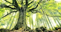 Los árboles viejos y grandes almacenan más carbono