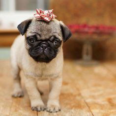 Jon Brown needs to do this for me when I get a pug!!!