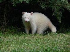 Albino raccoon. Pretty.