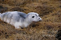 Adorable Baby Harbor Seal on Seaweed by DejaVu Designs