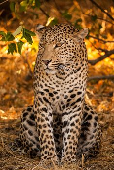 Leopard by Peter A Wolf on Flickr