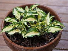 Hogarth Hostas at the RHS Chelsea Flower Show 2019 I am always hoping to meet a new favourite plant at the RHS Chelsea Flower Show, but as well as plants, I enjoy finding some of my favourite people at Chelsea. Jonathan Hogarth is one of… Container Plants, Container Gardening, Rustic Wheelbarrows, Online Nursery, Variegated Plants, Miniature Plants, Chelsea Flower Show, Lavender Color, Green Leaves
