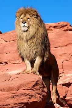 Lion king of the jungle Nature Animals, Animals And Pets, Cute Animals, Wild Animals, Wildlife Nature, Baby Animals, Lion Pictures, Animal Pictures, Beautiful Cats