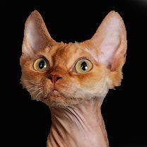 Котята породы Девон рекс из питомника Nefertee