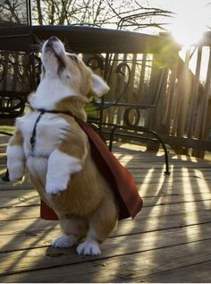 Superdog ready to fly...