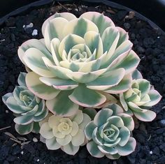 Echeveria Compton Carousel – babies are growing really fast now by Emily Dee