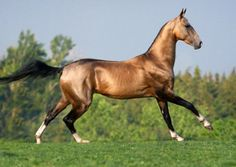 Akhal teke elite stallion, Ulukbek.photo: Ekaterina Druz.