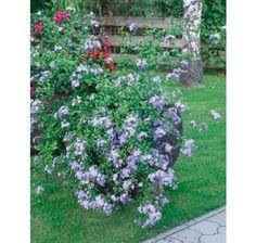 Plumbago auriculata / Olovník uškatý, K9 Outdoor Structures, Plants, Plant, Planets