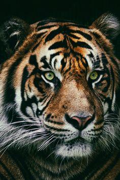 styleclassandmore: brazenbvll: Panthera Tigris Sumatrae → (©) http://www.styleclassandmore.tumblr.com Tiger