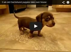 Watch these tiny dachshund puppies as they take over this house. This is the most gorgeous and heart warming thing you will ever see - a must for dachshund lovers. Click it , like it - Love it.