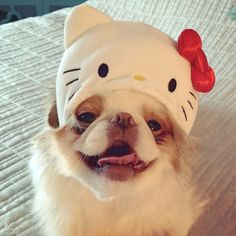 Тёма clearly loving his new Kitty helmet! He says Arigato to his fan who sent it home with me! #japanesechin