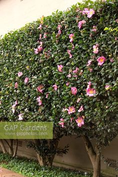 Camellia casanqua - A clipped Camellia hedge with single mid pink flowers, planted in a raised garden bed with an underplanting of Native Violet, Viola hederaceae. Ficus Hedge, Bamboo Hedge, Podocarpus Hedge, Cedar Hedge, Hornbeam Hedge, Hedge Hog, Boxwood Hedge, Camellia Tree, Camellia Plant
