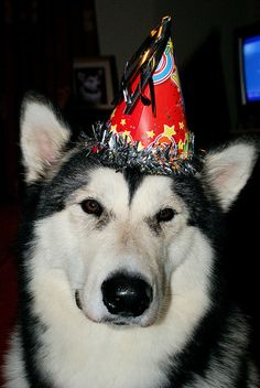 #Malamute Birthday