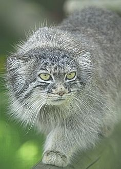 The Pallas Cat or Manul - Facts, Conservation and Toxoplasmosis