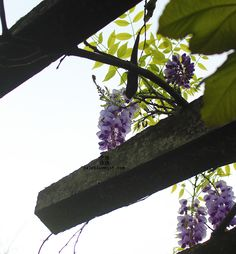 紫藤花。Chinese wistaria