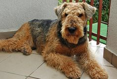 Grom the Airedale Terrier