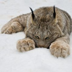 Canada Lynx [Lynx Canadensis] The Canada lynx or Canadian lynx is a Felidae and is a close relative of the Eurasian Lynx. However, in some characteristics the Canada lynx is more like the bobcat than the Eurasian Lynx. Cool Cats, I Love Cats, Big Cats, Crazy Cats, Cats And Kittens, Lynx Du Canada, Beautiful Cats, Animals Beautiful, Simply Beautiful