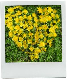 A Dandelion is a natural beauty ingredient  .....did you know every part of a Dandelion has a medicinal use?