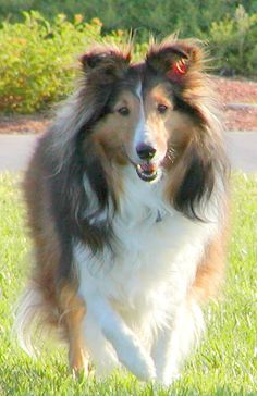 This is my first Sheltie, Sundance. I adopted him on May 6, 2000 and he gave me 10 wonderful years of love and companionship. He loved to go for walks in the park and always did the 'Sheltie spin' when he was excited. I miss you, Sundance!