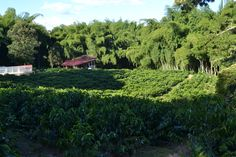 Colombian coffee plantation, Green Colombian landscaping! Colombian Coffee, Homeland, South America, Vineyard, Landscape, Country, Places, Columbia, Green