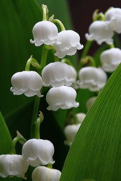 Muguet Lily of valley Heavenly scent Amazing Flowers, Pretty Flowers, White Flowers, Beautiful Flowers Photos, Lilies Flowers, Birth Flowers, May Flowers, Exotic Flowers, Tropical Flowers