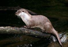 Kuna lesní.Délka kuny lesní nepřesahuje 60 cm.V zimě loví kuna veverky.Najdeme ji v celé Evropě.
