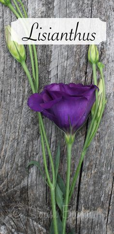 Purple Lisianthus. Laura, just so you know that this is an option as well, and I can get it locally.