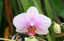Luz roja 100pcs / semillas de flores bolsa de sementes de flores semillas de orquídeas semillas casa a jardim Plantas de jardín decoración del hogar regalo (China (continental))