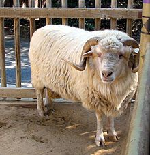 Navajo Churro sheep - The Navajo-Churro was the first domesticated sheep introduced into North America. Brought from Southern Spain in Churro sheep became the mainstay of Spanish ranches and villages along the Rio Grande. Romney Sheep, Jacob Sheep, Sheep Breeds, Sheep Dogs, Navajo People, Animal Science, Counting Sheep, Churros, Farm Animals