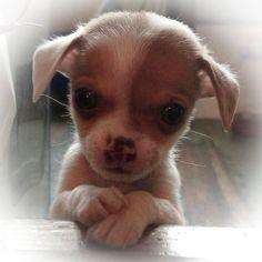 Melting...wanna smooch that face!!❤️❤️❤️❤️: Baby Chihuahua, Animals, Chihuahuas, Sweet, Chihuahua Puppies, Dog, Chichi