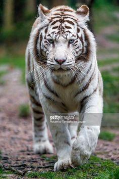 Stock Photo : Walking white tiger