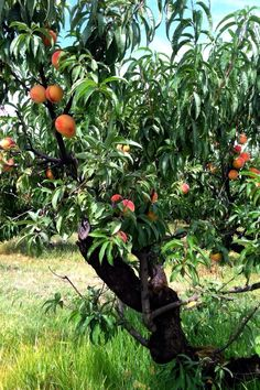 U-Pick peaches @ Sauvie Island Farms - Portland, Oregon. Also U-pick flower fields, blueberries, and pumpkins