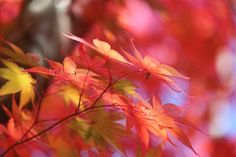 beautiful red and yellow maple leaves of autumn at Kyoto in Japan by Tomohiko Shimizu on 500px