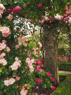 England Travel Inspiration - David Austin Rose Garden: English Rose Perfume Perfection. Looking for gardening inspiration then why not click on the photo to see various landscape ideas and beautiful flowers for your garden. #davidaustinroses #roses #beautifuldestinations #gardening #england #shropshire #80pairsofshoes