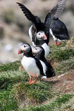 Puffins on Grimsey, remote island of off Iceland.  More birds live here than people.