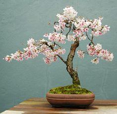 Google Image Result for http://www.chinesebonsaigarden.com/wp-content/uploads/2010/11/brush_cherry_bonsai1.jpg