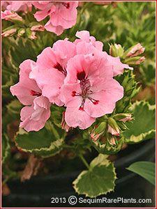 Pelargonium 'Peach Princess'