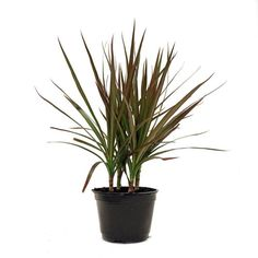 Delray Plants Dracaena Marginata in Pot You can find out more details at the link of the image. (This is an affiliate link) Delray Plants Dracaena Marginata in Pot You can find out more details at the link of the image. (This is an affiliate link) Dracaena Plant, Natural Treatment For Anxiety, Natural Anxiety Relief, Stress Relief, Indoor Office Plants, Indoor Plants, Potted Plants, Gardens, Home