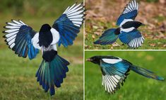 Magpies in multicolour: Stunning pictures reveal magnificent rainbow wings of normally black and white bird as it glides inches above the ground Magpie Tattoo, Eurasian Magpie, Black And White Birds, Animal 2, Bird Pictures, Colorful Birds, Animals Of The World, Kinds Of Birds, Beautiful Birds