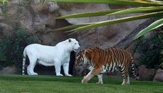usually albino animals are weird and scary looking but this albino tiger is by far the coolest looking albino animal everrrr!!! This is so sickkk!!