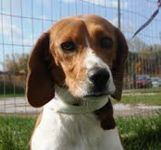 BENNIE - little guy! looking 4 LUV, family dog is an adoptable Beagle Dog in Whitby, ON. Please fill out an application form before calling or emailing questions. Please find the adoption application ...