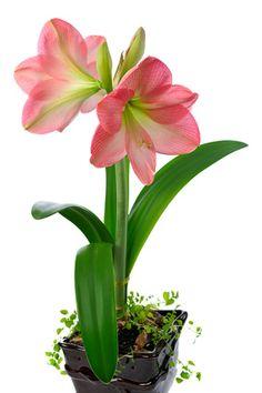 1000 images about hippeastrum amaryllis love on. Black Bedroom Furniture Sets. Home Design Ideas
