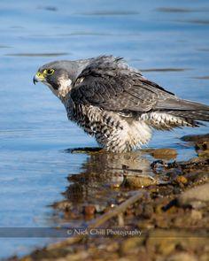 Bathing Peale's Peregrine Falcon, San Diego, California ~ by Nick Chill ~ #birds #wildlife