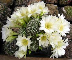 Rebutia krainziana 'albiflora'.jpg