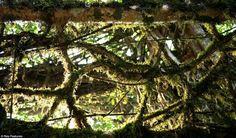 Les ponts vivants du Meghalaya - Gros plan sur le treillis végétal