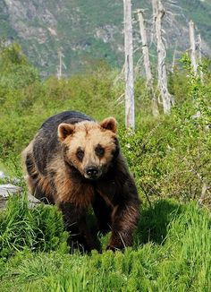 Bears, moose and salmon in the city photos copyright Visit #Anchorage