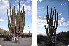 giant san pedro cactus - Google Search