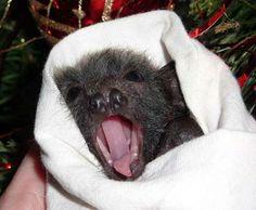 baby bat yawning