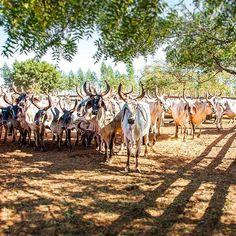 Os sadios, vigorosos, ativos e dóceis Guzerás da Fazenda Mineira. Uma excelente raça de Zebu que ajuda a alavancar ainda mais a pecuária!  #Pecuaria #Desenvolvimento #GadoZebu #Zebu #Agronegocio