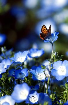 Butterfly on blue flowers